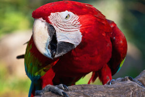 this isn't the parrot that bit Zeke's nose off, but that one probably looked like this