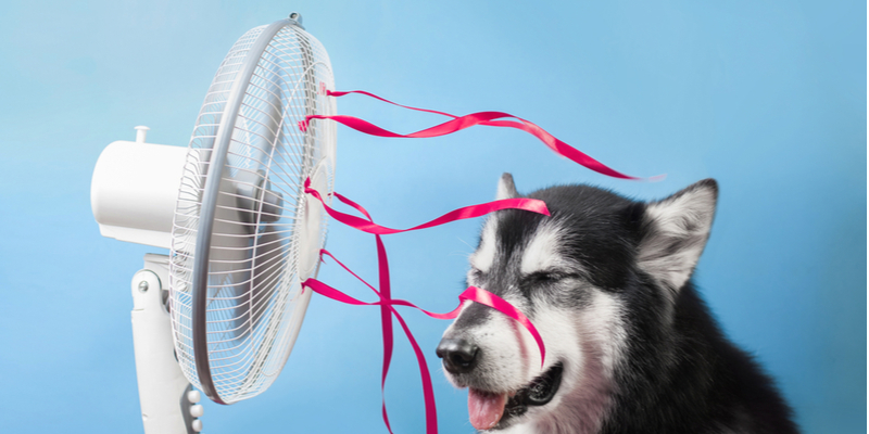Dog standing in front of electrical fan to cool down. How to protect pets from electrical hazards.